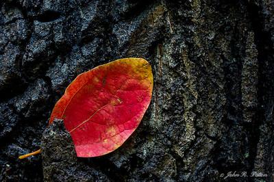 Red leaf on bark