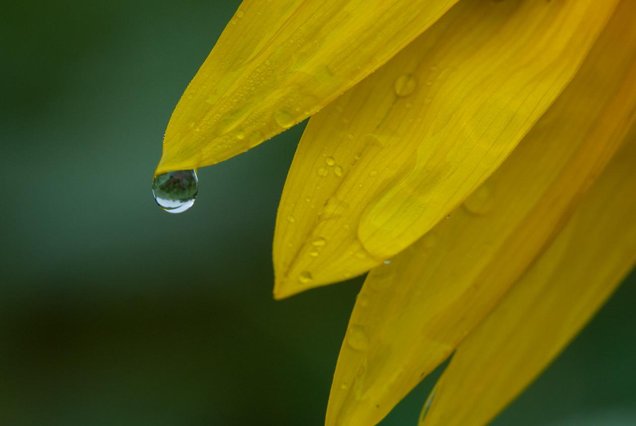 Sunflower Drop