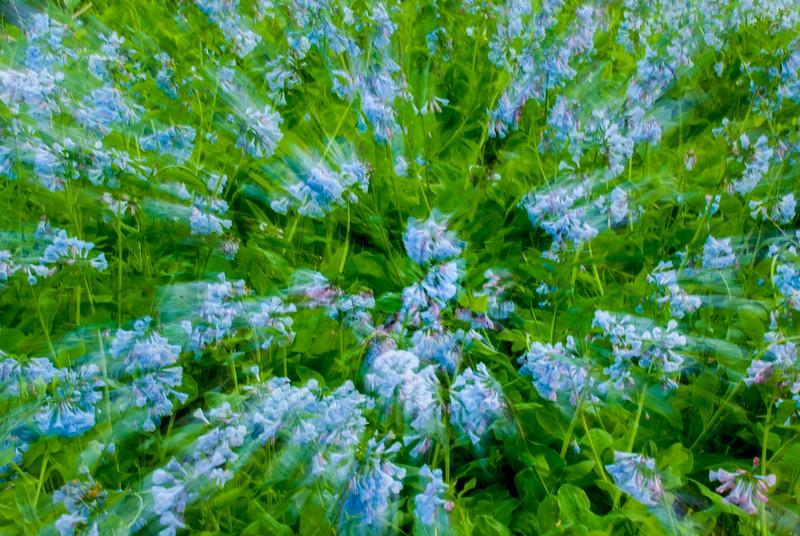 Virginia Blue Bells Zoom