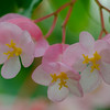 Begonia - 'Honeysuckle' Cane-like Begonia