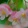 Begonia - 'Honeysuckle' Cane-like Begonia