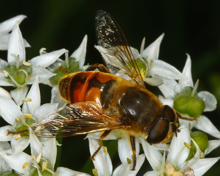 Male Syrphid Fly