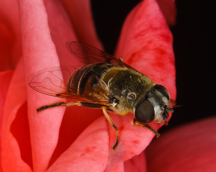 Syrphid Fly on Rose