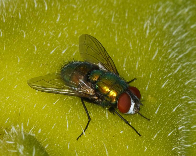 Male Green Bottle Fly