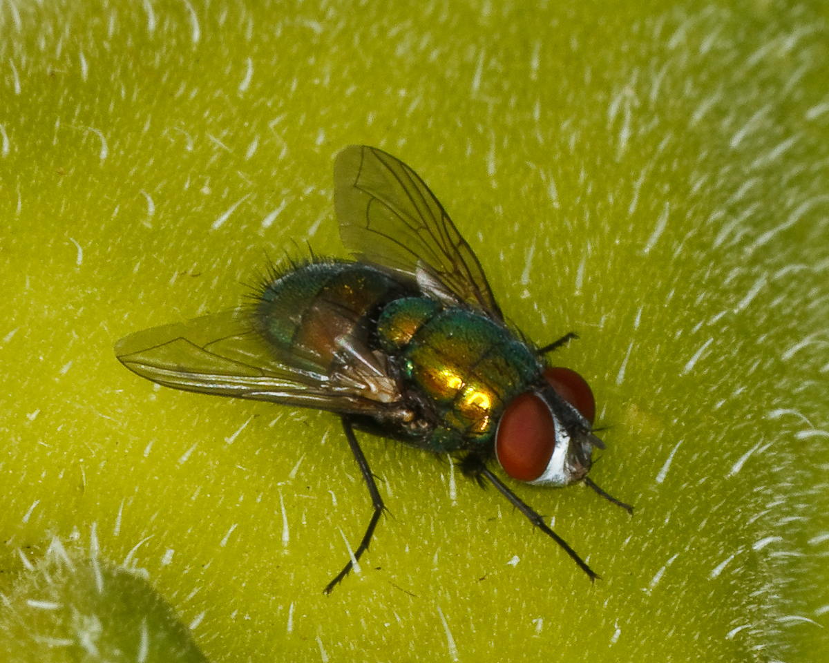 Male Green Bottle Fly