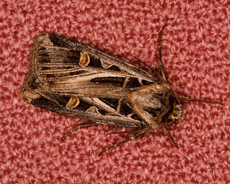 Cutworm Miller Moth on Chair