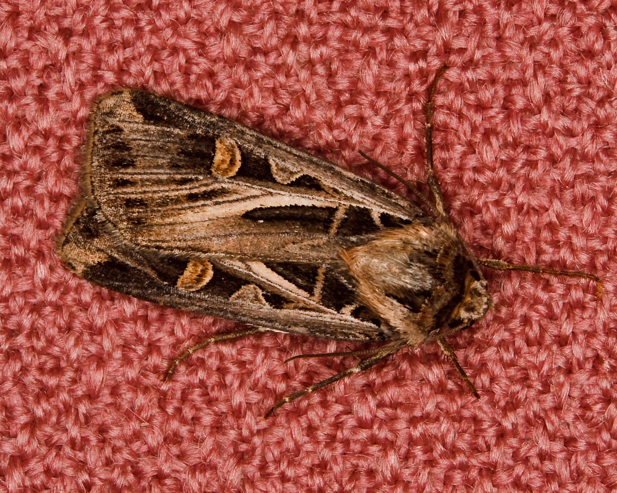 Cutworm Miller Moth on Chair