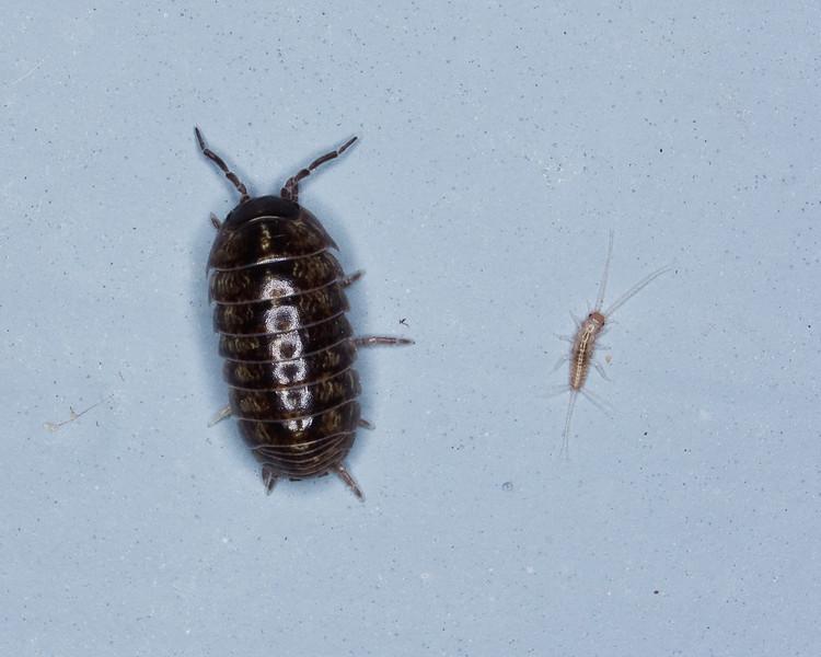 Pill Bug and Silverfish