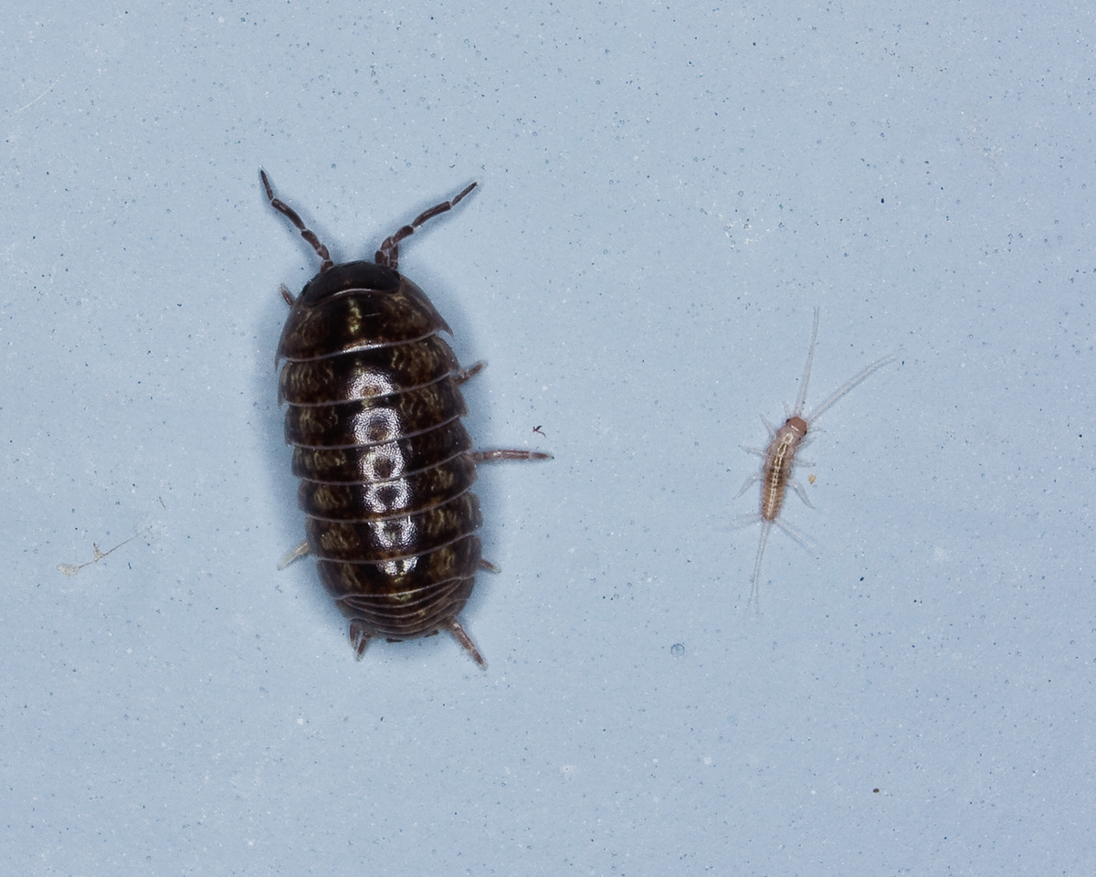 Pill Bug and Silverfish