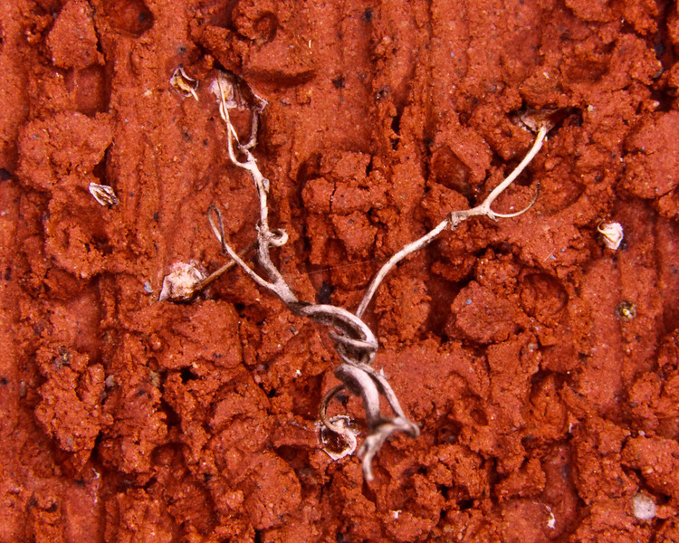 Ivy holdfast on brick