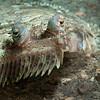 Eyed Flounder