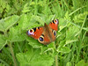 The good news about the Peacock, arguably our most beautiful local butterfly, is that it is also easily seen on walks along the river at this time of year.