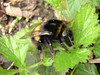 Bumble bees are out and about again this month. This species is Bombus terrestris and is one of the commonest bumble bees in Crane Park.
