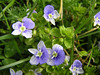 Several species of speedwell can be found in Crane Park. Common Field Speedwell is the most prominent and abundant example, growing in almost any open grassy areas, including the mowed margins of Crane Park and Kneller Gardens.