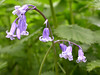 "The native British Bluebell is a delicate plant with the bell-shaped flowers dangling from fragile stems. There is a small patch of ""real"" Bluebells beneath the ""tree-dressing"" oak at a track junction on Crane Park Island."
