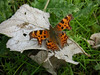 April is game on for butterflies along the Crane, with many species in flight on sunny afternoons. The Comma is an easily identifiable butterfly with uniquely ragged wings that can be seen almost anywhere in the area.