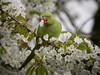 Ring-necked Parakeets are messy visitors to the April blossom, leaving carnage in their wake.