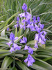 Bluebells are another fine spring flower. We have two species on the Crane and sadly the invasive Spanish Bluebell is the most common. It is a strong, straight-stemmed plant with flower-heads sticking out from the central stem. On the other hand...