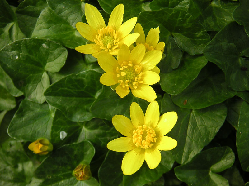 Lesser Celandine is one of the most evocative and reliable signs that spring is well underway. Small carpets of this flower can be found on patches of woodland floor.