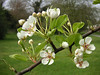 The blossom show is cranking up in Crane Park throughout April. Fruit trees are very hard to identify for inexperienced eyes. This is possibly Wild Pear, growing close to Meadway.