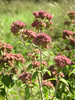 Marjoram is a fragrant herb that is in flower in August and can be found in the meadow to the west of Hospital Bridge Road.