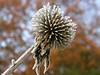 The dried head of a Lesser Burdock obtains a festive coating on a freezing December morning.