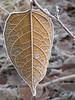 Even environmental foes take on a grudging beauty on a frozen morning, as demonstrated by this lone leaf of Japanese Knotweed in Crane Park.