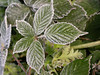 A sugary coating of frost delicately decorates some fresh leaves of Bramble in the December undergrowth of Crane Park.