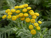 Tansy is one of the few flowers in bloom in some of the open areas of Crane Park in December. The bright yellow flowers are a very welcome sight at this time of year.