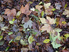 The leaf mulch is deep in Crane Park this month, with multicoloured leaves from several different species of tree forming a blanket of decomposing organic matter.