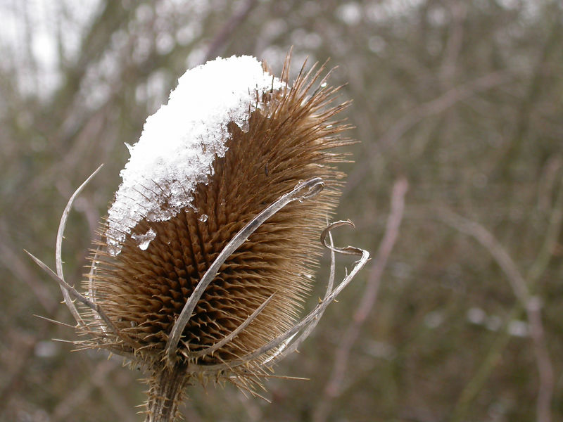 Receding snow clings to the surface of one of last season's Teasel seedheads.