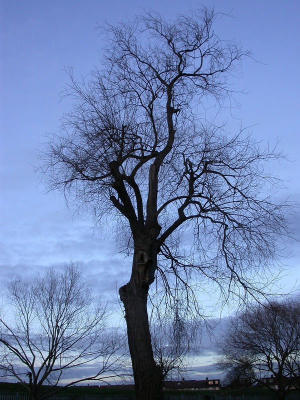 A January dusk is a wonderful time to appreciate that trees shorn of their leaves can still be elegant. However this was this giant's last season, since within weeks it was felled..