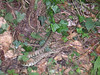 Only the very fortunate encounter a snake in Crane Park. This Grass snake is superbly camouflaged against the leaf litter on an early July evening on Crane Park Island.