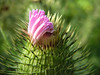 The Spear Thistle is the most classical thistle along the Crane. The large spiny heads are breaking into bloom in July.