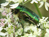 This is a good time of year to go bug hunting. One prize along the Crane might be a sighting of the metallic green Rose Chafer, seen here clambering slowly over June blossom in search of nectar.