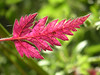 While many plants are only beginning their cycle in June, others are on the turn. The best season for Cow Parsley is over and some of the leaves turn an astonishing crimson as the plant fades for the season.
