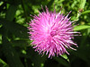 The brilliant pink heads of Common Knapweed have to be hunted for carefully in Crane Park. This thistle-lookalike can be found on Crane Park Island in the meadow to the west of the reserve.