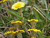 Coltsfoot is an unusual plant that is best seen in March in grassy patches close to the river. Although it looks a bit like a type of dandelion, it is in fact a fleabane, and is easily recognisable because it has no leaves and a slightly purple stem.