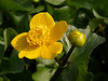March sees the buds of the Marsh Marigold begin to open and provide a rich and vibrant flash of colour to secluded corners of the banks of the Crane.