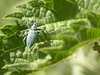 This is an ideal month to go bug hunting in the grasses of Crane Park. This is a species of weevil known as Phyllobius pomaceus, which is commonly found on the leaves of nettles.