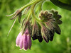 Comfrey comes in various colours, with purple, white and cream all easily found in disturbed areas along the Crane. This purple flowering plant is well-established in Mereway Nature Park.