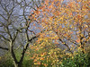 The cycles of leaf fall differ dramatically between species. The Ash on the left has discarded almost all its leaves by late November and yet the Cherry to the right is still ablaze.