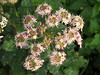 Hogweed has a long flowering season and even in October some are still in bloom. This plant has an unusual pinkish tinge to the petals.