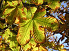 "The leaves of deciduous trees are beginning to die back in October and we begin to see a local version of ""fall colours"". These Horse Chestnut leaves are fading fast."
