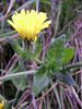 Bristly Oxtongue will flower for another month in rough grassy places along the Crane. Although the dandelion-like flower is not distinctive, the succulent leaves with swollen bristle bases identify this plant easily.