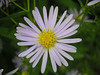 The Michaelmas Daisy is another late flowering plant that ensures that there is still dazzling colour to be found along the waysides of the Crane Valley in September.