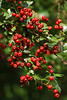 Hawthorn berries are ripening throughout the Crane Valley, providing a feast for local birds and other wildlife.
