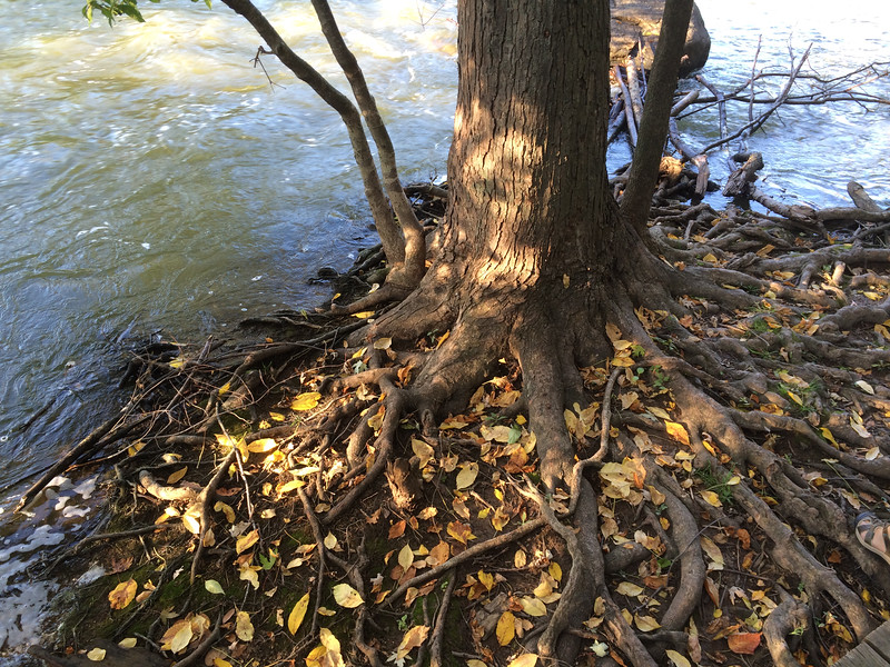 Fall Roots - 1000 Islands