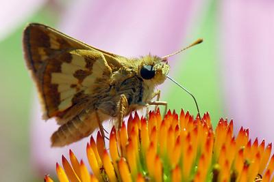Butterfly, Peck's Skipper