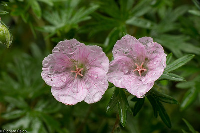 Geranium sanguineum var. striatum striped bloody cranesbill Perennial Geranium 6/3/2013  Position: full sun or partial shade Soil: fertile, well-drained soil Rate of growth: average Flowering period: June to August Hardiness: fully hardy  A compact, low-growing geranium that flowers continuously until autumn, this variety has pretty pale pink flowers with darker pink veins above dark green, deeply cut leaves. It is also drought tolerant once established. Try it in a rock garden, at the edge of a raised border, or as part of a cottage garden scheme.  Garden care: In autumn, rejuvenate plants that are beginning to look jaded by removing old flowered stems and leaves. Lift and divide large colonies in spring.